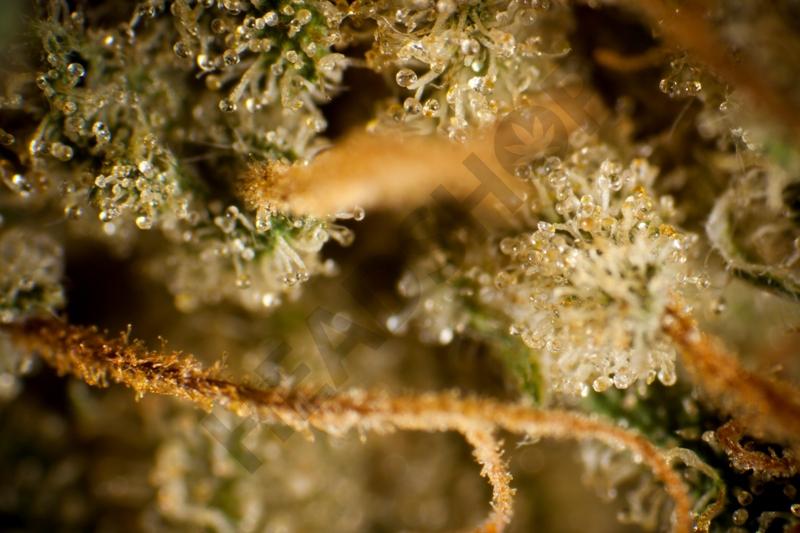 Tricomas de Marihuana
