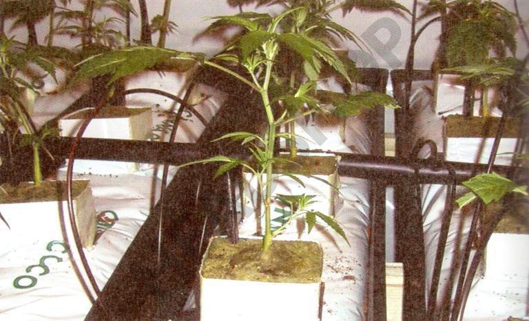 Cultivando en slabs de coco