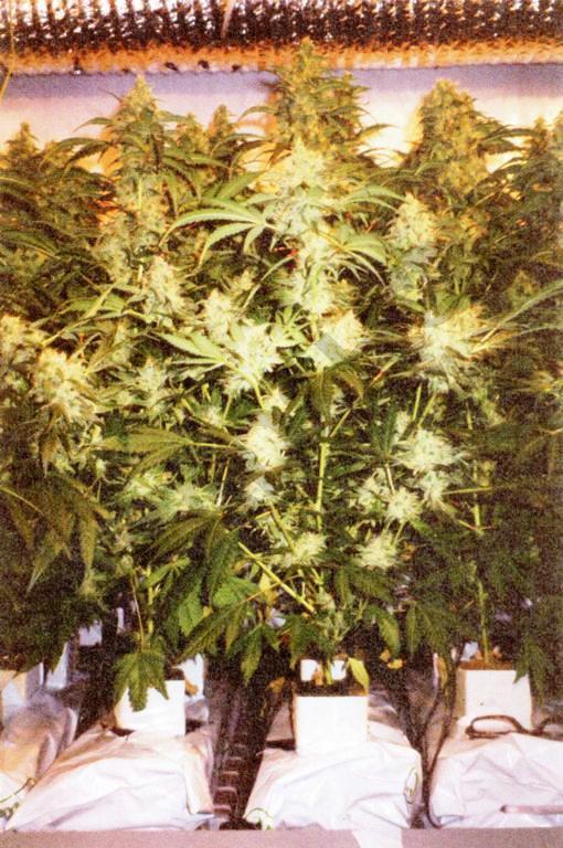 Cultivo optimizado de cannabis en coco