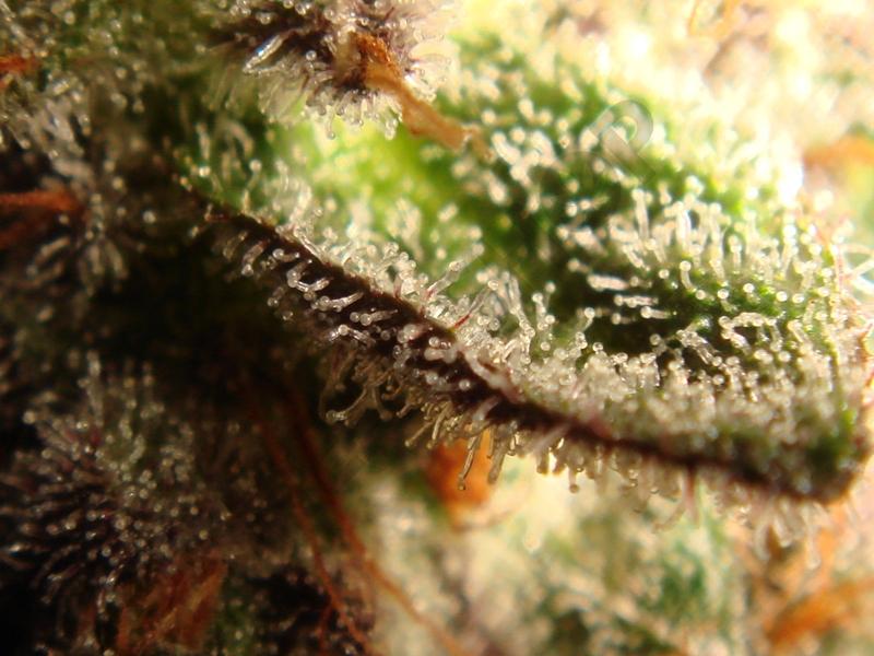 Vista de los tricomas de marihuana