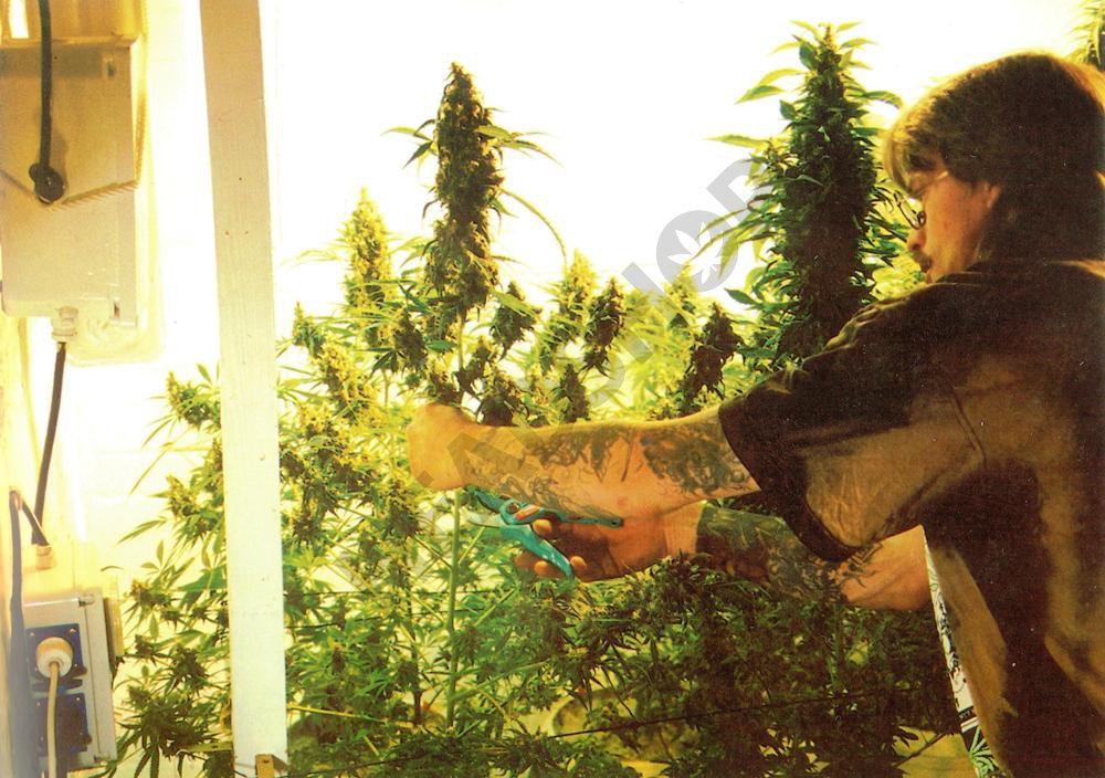 Cultivo de cannabis en interior