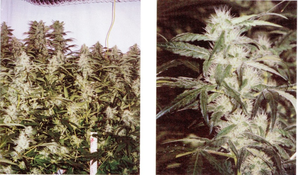 Plantas de marihuana en fotoperiodo de floración