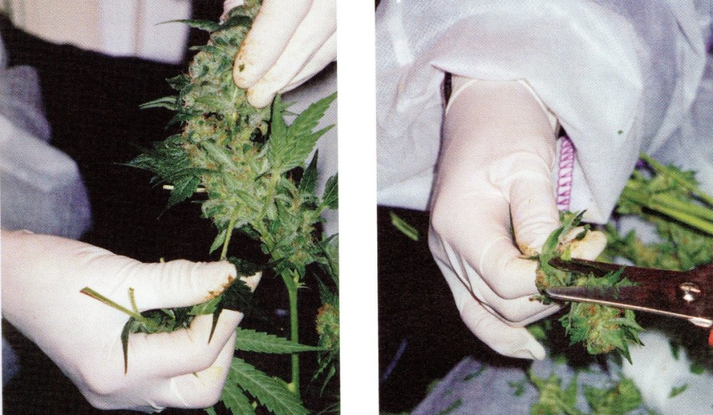 Proceso post cultivo, la cosecha