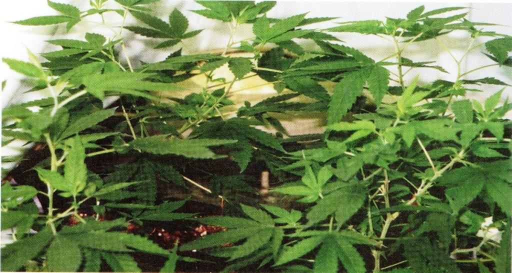 Cómo deben cuidarse las plantas madre de marihuana