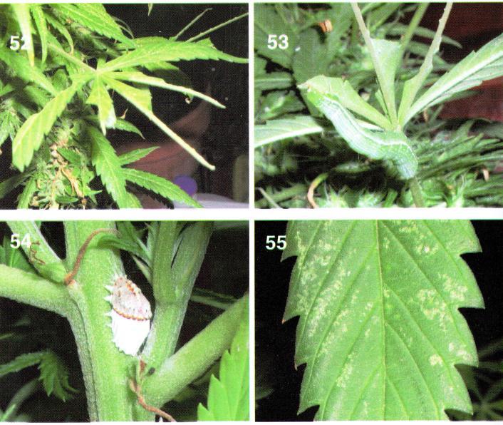 Plagas en el cultivo de marihuana